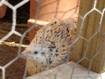 The Pig - On site quails